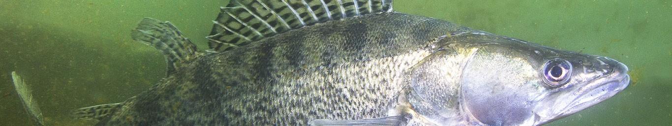 Matériel de pêche / Carnassier sur No Kill Pêche